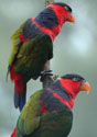 black capped lory